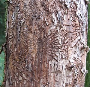 Dutch elm disease - Beetle feeding galleries on wych elm trunk