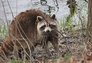 Raccoon, female after washing up.jpg