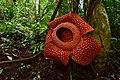 Rafflesia sp.jpg