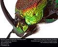Rainbow Scarab (Scarabaeidae, Phanaeus vindex) (26077179531).jpg