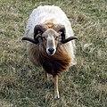 Ram (6982686872).jpg