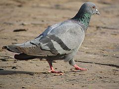 240px ranthambore wild animal pigeon