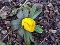 Ranunculales - Eranthis hyemalis - Kew 2.jpg