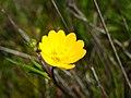 Ranunculus-californicus1.jpg