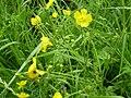Ranunculus acris 0.0 R.jpg