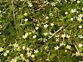 Ranunculus trychophyllum NRM.jpg