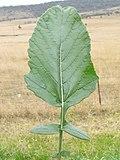 Rapistrum rugosum leaf7 (14758851380).jpg