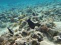 Ras Mohamed Black Durgon fish.jpg