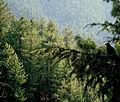 Ravens on tree.jpg