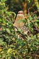 Red-faced Mousebird - Zambia 0002 (16306421452).jpg