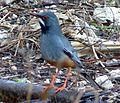 Red-legged Thrush. Turdus plumbeus - Flickr - gailhampshire (1).jpg