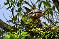 Red-shouldered hawk corkscrew (16960384815).jpg