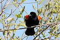 Red-winged Blackbird (7125591575).jpg