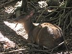 Red Brocket Deer in Barbados 01.jpg