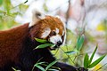 Red Panda (37661799815).jpg