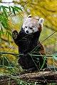 Red Panda (37661862665).jpg