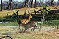 Red lechwe fighting 4.jpg