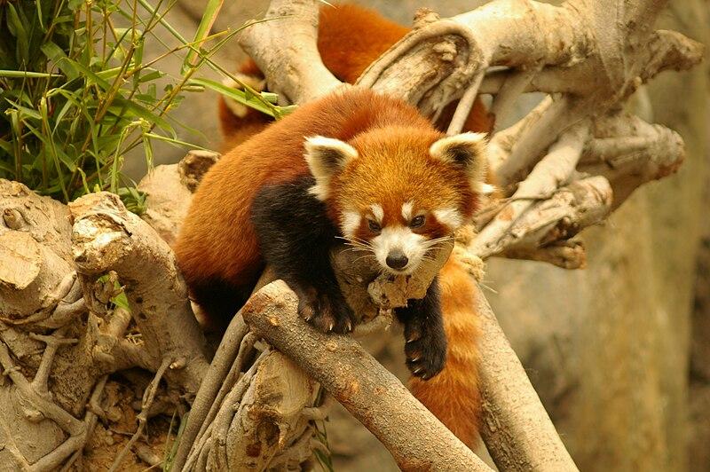 File:Red panda ocean park hk.jpg
