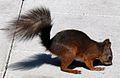 Red squirrel in Sweden.jpg