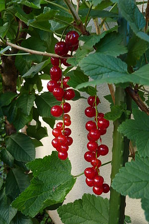Ribes - Redcurrant, berries