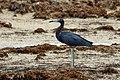 Reddish egret (Egretta rufescens) immature dark morph.JPG