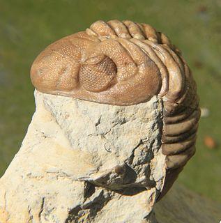 Phacopina genus of arthropods (fossil)
