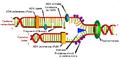 Replicació de l'ADN.PNG