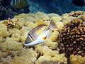 Rhinecanthus assasi - Rotmeer-Picassodrueckerfisch 0946.jpg