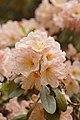Rhododendron 'Skyglow' Flowers.jpg