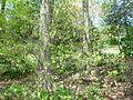 Rhododendron austrinum2.jpg