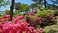 Rhododendron in Noshiro Park 20190519d.jpg