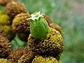 Rhopalomyia tanaceticola (Cecidomyiidae) - (gall), Elst (Gld), the Netherlands - 2.jpg