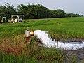 Rice Paddy P6240057.jpg