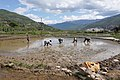 Rice planting in Bhutan 01.jpg