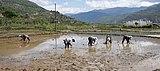 Rice planting in Bhutan 02.jpg