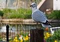 Ring-billed Gull visiting Lincoln Park Zoo (13971295967).jpg