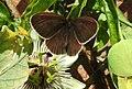Ringlet butterfly (28311897375).jpg