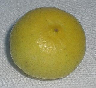 Key lime species of plant, Key lime