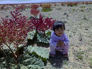 Rheum (plant) - Image: Rivach=Rivas