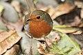 Robin (190069639).jpeg