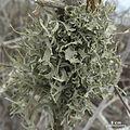 Roccella gracilis - Flickr - pellaea (3).jpg