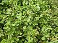Rorippa nasturtium-aquaticum (Nasturtium officinale) (5003028778).jpg