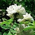 Rosa 'Quatre Saisons Blanc Mousseux'.jpg