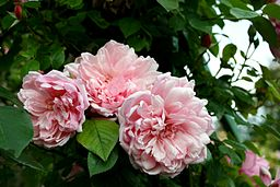 Rosa Albertine - Giverny04