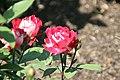 Rosa Love 2zz.jpg