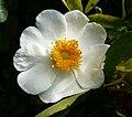 Rosa bracteata 4.jpg