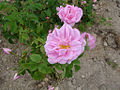Rosa damascena 2.jpg