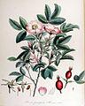 Rosa pomifera — Flora Batava — Volume v14.jpg