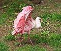 Rosalöffler im Weltvogelpark Walsrode 2H1A8756WI.jpg