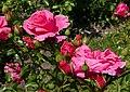 Rosarium Baden Rosa 'Donauprinzessin' Noack 1994 01.jpg